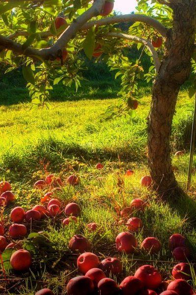 fall-apple-tree
